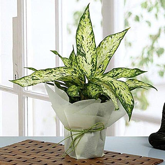 Aglaonema green plant with vase