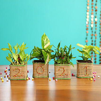 Green Plants Combo - New Year Pots