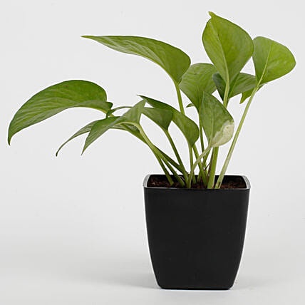 Green Money Plant in Imported Plastic Pot