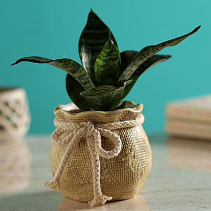 Green Sansevieria Plant In Mataki Pot