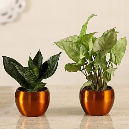 Green Sansevieria Syngonium Plant Combo Hand Delivery:Air Purifying Plants