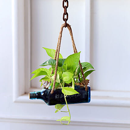 Hanging Golden Money Plant Bombay Sapphire Bottle Planter