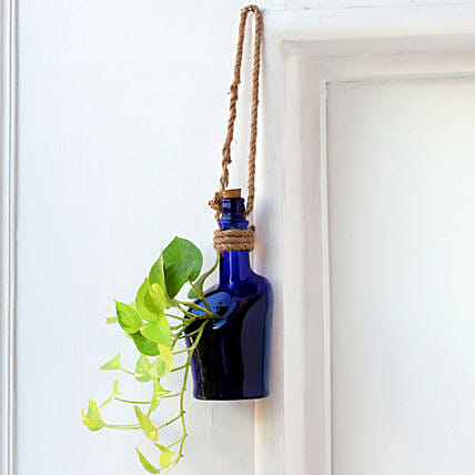 Hanging Money Plant In Antiquity Bottle Planter