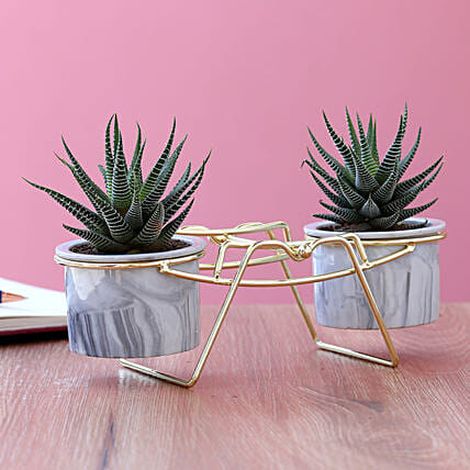 Haworthia Plant Duo In Ceramic Pots With Golden Stand