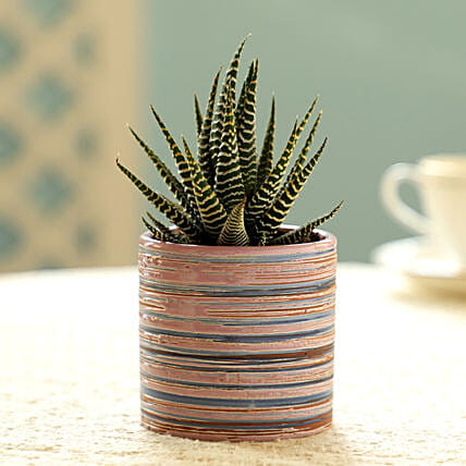 Haworthia Plant In Violet Pot