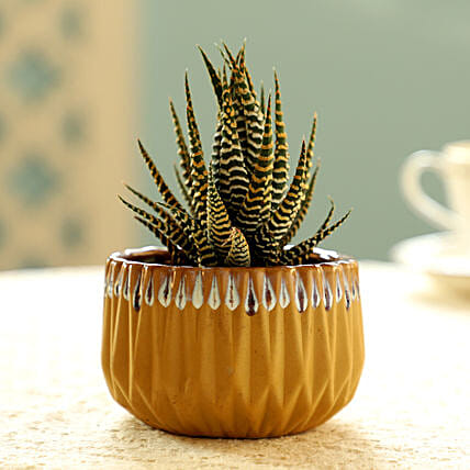Haworthia Zebra Plant In Yellow Pot