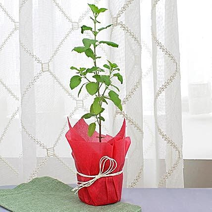 Potted green leaf tulsi plant:Outdoor Plants