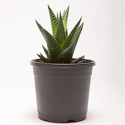 Attractive outdoor plant for home