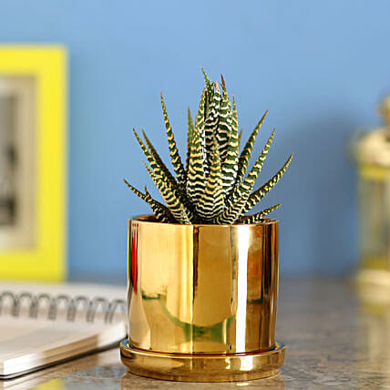 Howarthia Zebra Golden Ceramic Pot