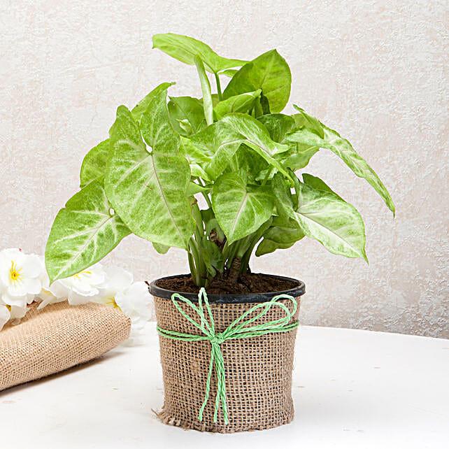 Syngonium plant in a round plastic vase