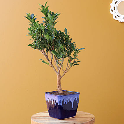 Ficus Plant with Ceramic Planter