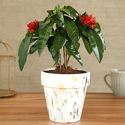 Ixora Plant In Corn Shaped Marble Pot