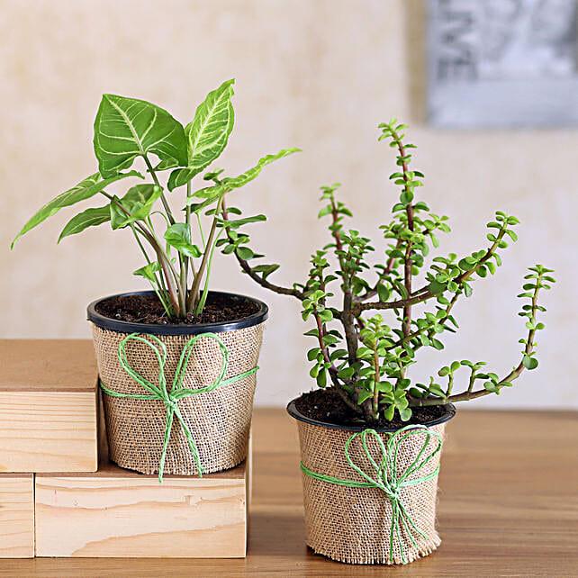 Syngonium & Jade Plant Combo
