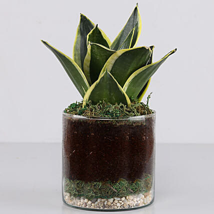 Online Sanseaveria Plant In A Glass Terrarium:Glass Planters Delivery