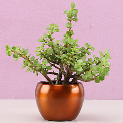 Jade Plant In Brass Pot Hand Delivery