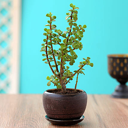 Online Jade Plant In Brown