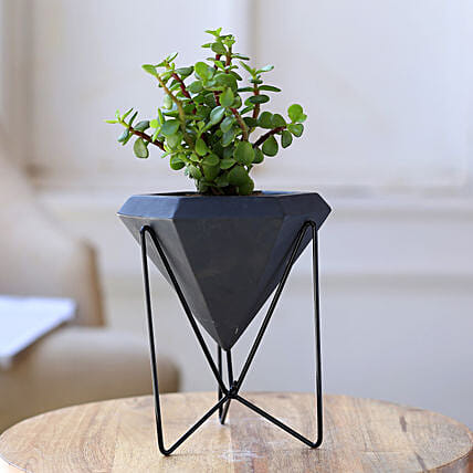 Jade Plant In Conical Pot With Stand