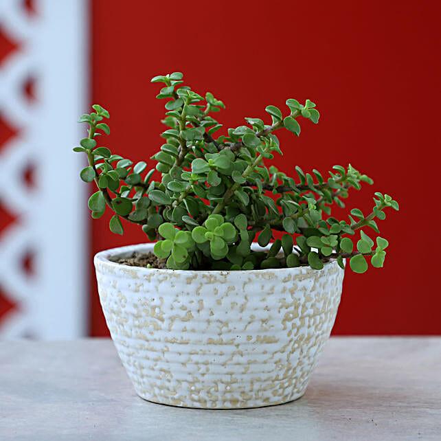 Online Jade Plant In White Pot