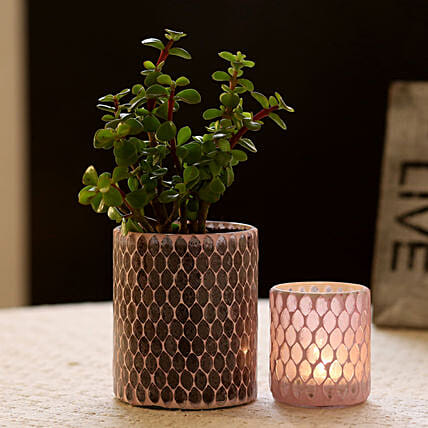 Jade Plant in Decorative Pot For Home