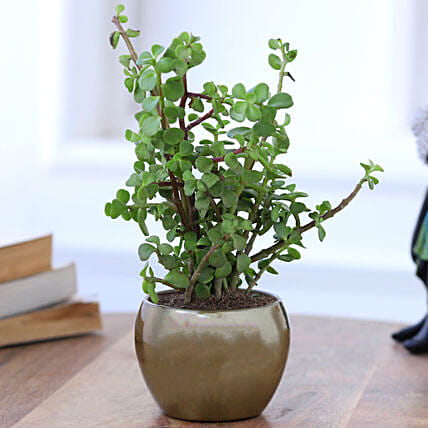 Online Jade Plant In Gold Tone Metal Pot