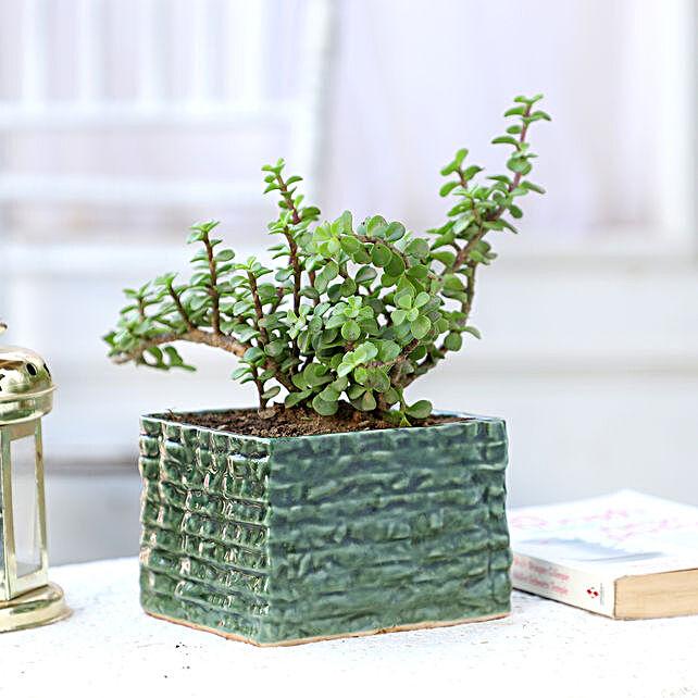 Online Jade Plant