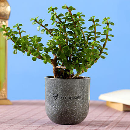 jade plant in melamine pot