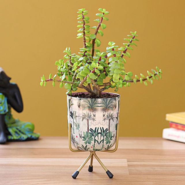 jade plant in printed pot online