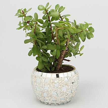 Online Jade Plant In Metallic Mosaic Design Pot