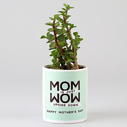 jade plant in attractive printed pot for mom