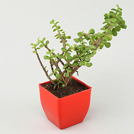 Jade Plant in Red Pot