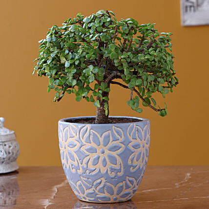Jade Plant with Elegant Planter:Bonsai Tree