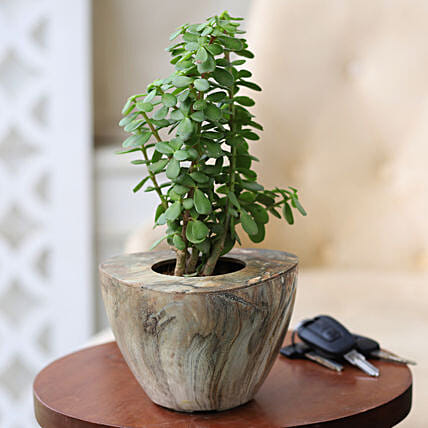 Online Jade Plant In Stone Wood
