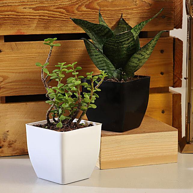 Jade Sansevieria Plant Set