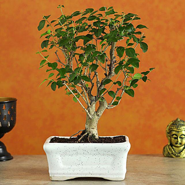Ligustrum Bonsai In Ceramic Tray:Bonsai Plants
