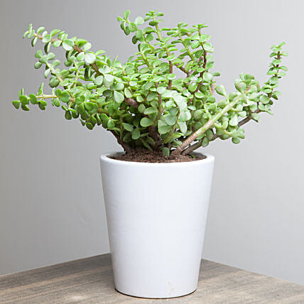 Jade plant in a ceramic vase:Outdoor Plants