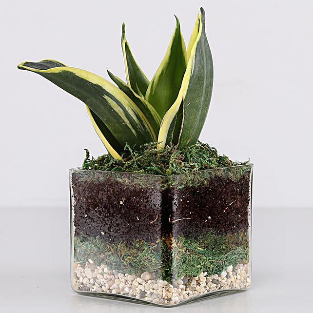 Online Snake Plant Glass Terrarium:Glass Planters