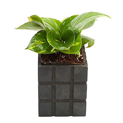 Lucky Money Plant Gift Lucky Money Plant Bring Home Good Fortune
