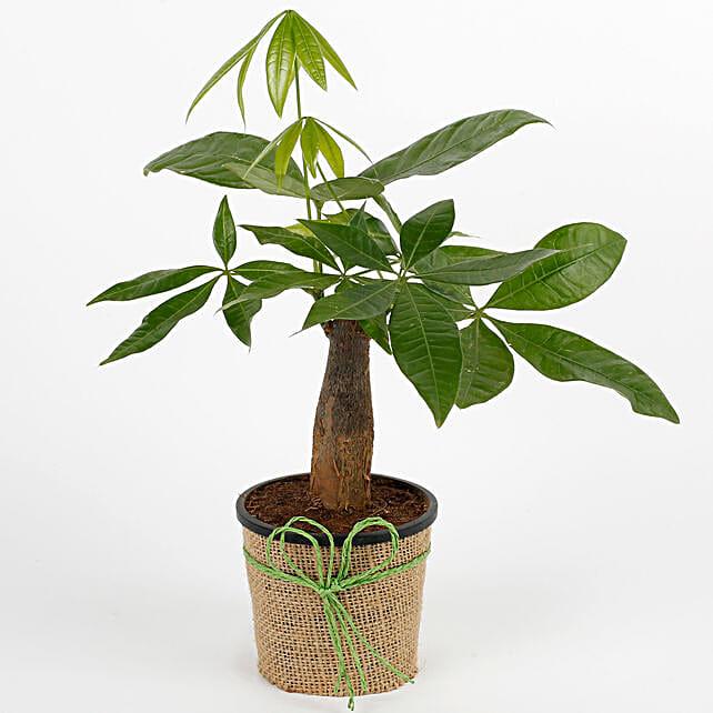 Pachira bonsai plant with a plastic pot wrapped in jute:Bonsai Plants