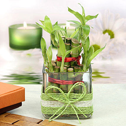 A two layer bamboo plant in a square glass vase wrapped in green and white raffia