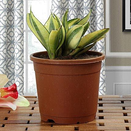 Sansevieria plant in a round vase:Gifts for Pongal