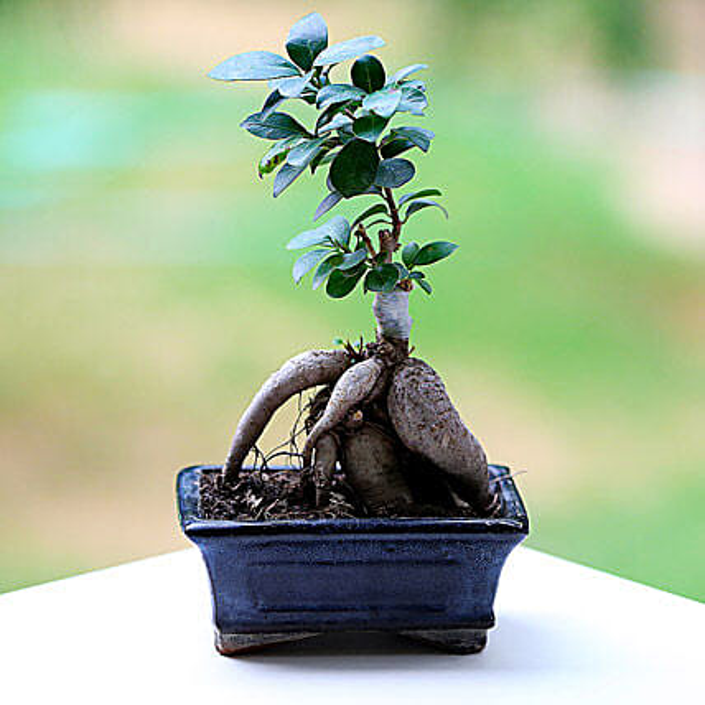 A ficus microcarpa plant in a pot:Bonsai Plants