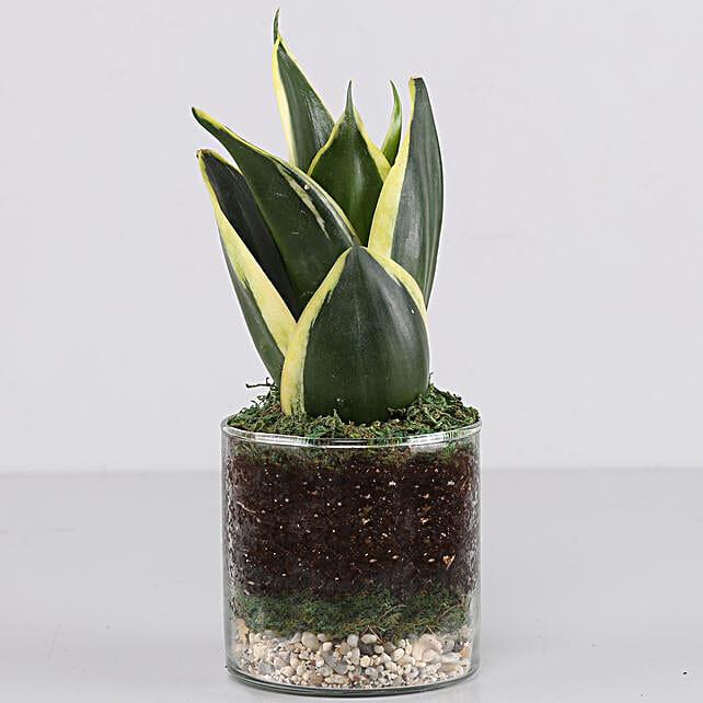 Online MILT  Glass Terrarium Plant