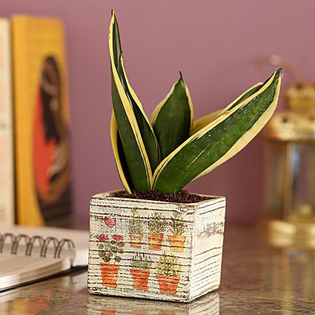 MILT Sansevieria In a White Ceramic Pot
