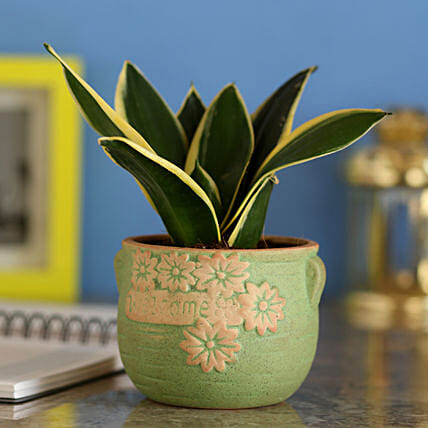 MILT Sansevieria In Green Ceramic Pot