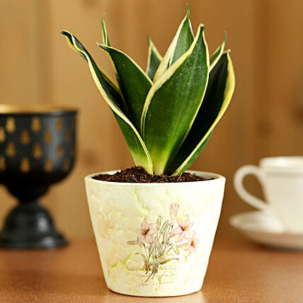 MILT Sansevieria In White Ceramic Pot