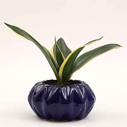 MILT Sansevieria Plant in Ceramic Pot