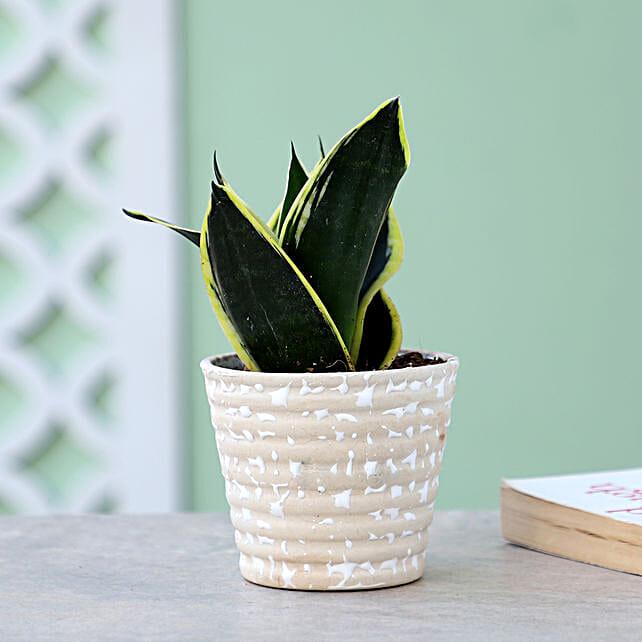 Online Sansevieria Plant