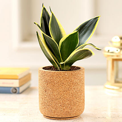 Milt Sansevieria Plant In Pipe Shaped Cork Planter