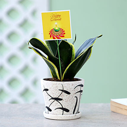 sansevieria plant in special white pot online