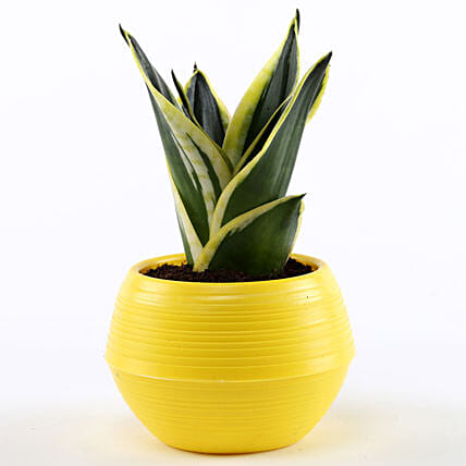 online sansevieria plant in yellow pot
